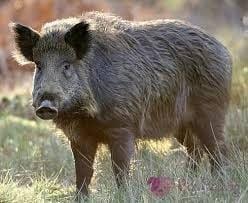 Photo of Огромно диво прасе  си хареса пътя Троян – Орешак