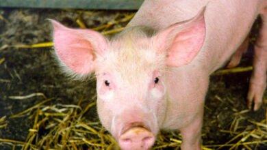 Photo of Още 4 случая на Африканска чума при свинете в България