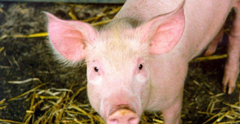 Още 4 случая на Африканска чума при свинете в България