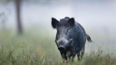 Photo of И в Ломец  отстреляха болна дива свиня