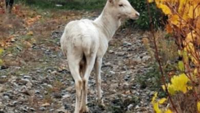 Photo of Бял елен се появи в Карловско!